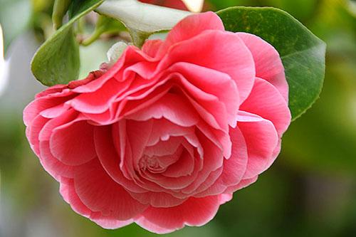 hoa tra