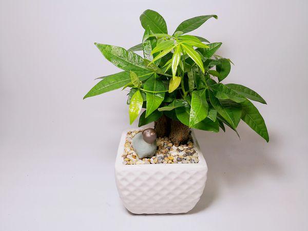 Cây phong thủy tuổi Tuất nên trồng trong nhà